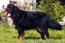 http://zoocatalog.ru/breed/img/bern/bern_standart.jpg